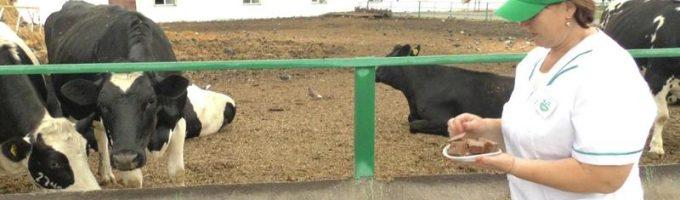 кормить коров шоколадом