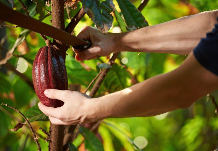 Срезание плода шоколадного дерева