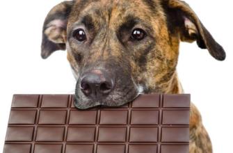 Почему собакам нельзя шоколад: разбираемся, правда ли, что домашним питомцам противопоказаны сладости и почему